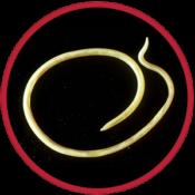 parasiet wormen