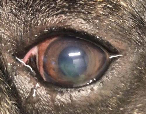 hond oog